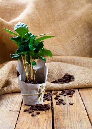coffee coffee plant: coffee plant tree in paper packaging on sackcloth, wooden background Stock Photo