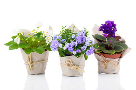 Potted plants: blue Campanula terry, blue and white Saintpaulias flowers in paper packaging, isolated on white background