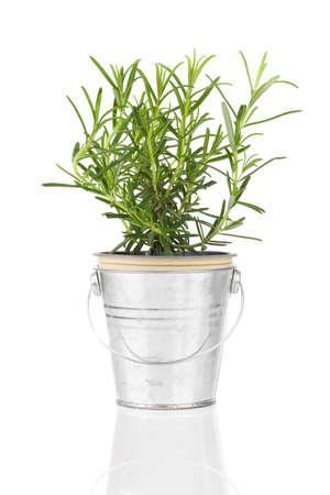 tomillo: Planta de hierba de romero que crece en una olla de peltre angustia, aislado sobre fondo blanco. Foto de archivo