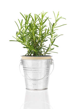 rosemary flower: rosemary herb plant growing in a distressed pewter pot, isolated over white background. Stock Photo