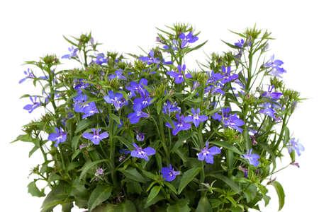 lobelia: A sprig of blue lobelia on a white background.