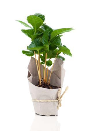 planta de cafe: árbol planta de café en envases de papel, aislado en fondo blanco Foto de archivo