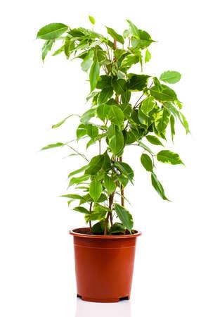 植木鉢が白い背景で隔離のフィカス benjamina。 写真素材 - 37453655