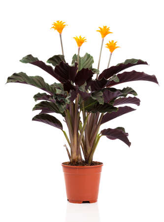 perennial: Eternal flame flower (calathea crocata orange) in  flowerpot on white background. Calathea crocata is a perennial.