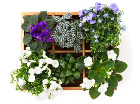 terry: flowers top view (Saintpaulia, Campanula terry, Fittonia, Adromischus) in a wooden box Stock Photo