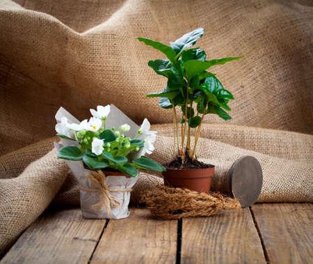 planta de cafe: flores blancas y Saintpaulias �rbol planta de caf� en envases de papel en los envases de papel, sobre fondo de madera Foto de archivo