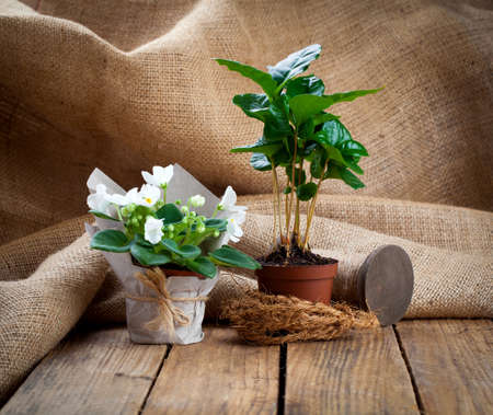 coffee plant: white Saintpaulias flowers and coffee plant tree in paper packaging in paper packaging, on wooden background