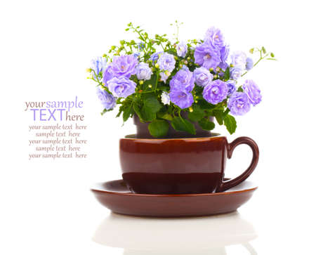 perennial: blue Campanula terry flowers in teacup, isolated on white background Stock Photo