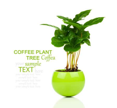planta de cafe: árbol planta de café creciendo plántulas en pila suelo aislado en el fondo blanco