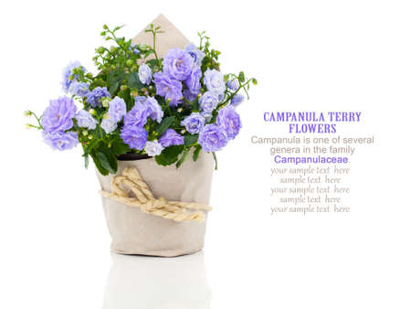 blue Campanula terry flowers in paper packaging, isolated on white background