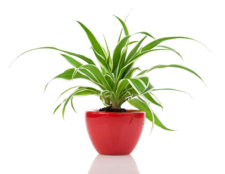 Chlorophytum plant in the red pot Stock Photo