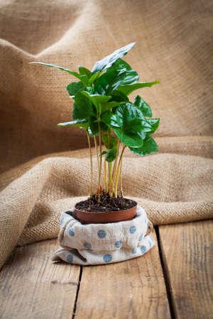 planta de cafe: treeon cilicio planta de café, fondo de madera