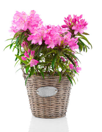 Rhododendron flowers isolated on white background Foto de archivo