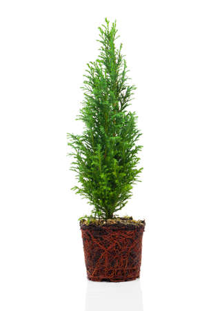 Cypress, thuja with roots isolated on white background 스톡 콘텐츠