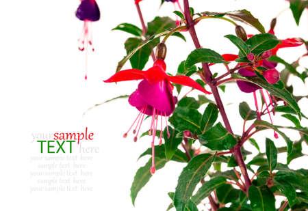 flores fucsia: flor fucsia aislado en blanco