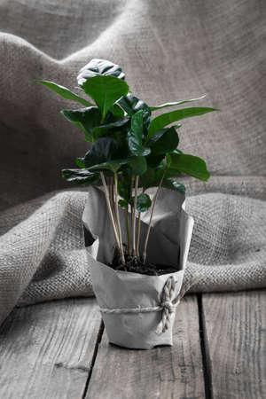 planta de cafe: árbol planta de café en envases de papel de cilicio, fondo de madera