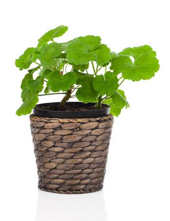 Geranium flower in a flower pot,  white background Stock Photo