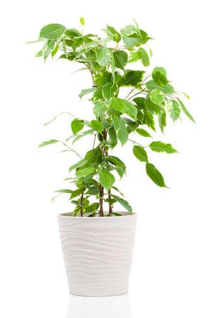 Ficus benjamina in bloempot op een witte achtergrond.