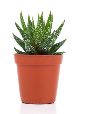 Haworthia Mix, cactus, succulent plant op witte achtergrond Stockfoto
