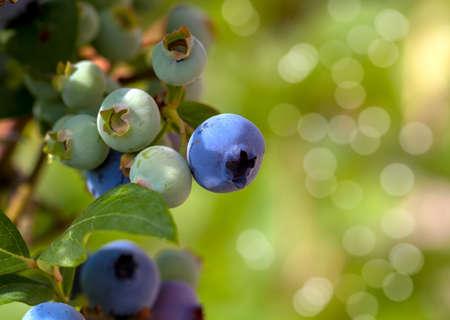 buisson: cluster de bleuets mûrs sur un buisson de myrtille Banque d'images