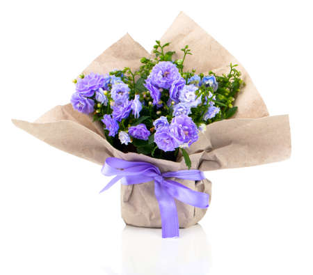 flower in pot: blue Campanula terry flowers in paper packaging, isolated on white background