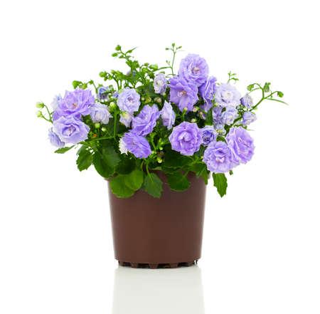 flores moradas: azules flores de felpa Campanula, sobre un fondo blanco.
