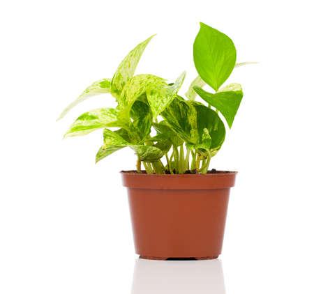 Epipremnum オウレウム (サトイモ) 植物鍋に、白い背景で隔離。サトイモ科