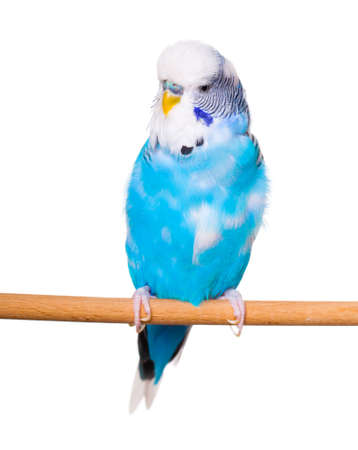 budgie: Budgie on the white backgro Stock Photo