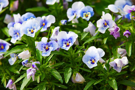 garden pansy (pansies, Viola, Viola tricolor) is a type of large-flowered hybrid plant cultivated as a garden flower.