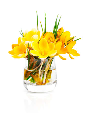 iridaceae: yellow crocus vernus (Spring Crocus) isolated on white background