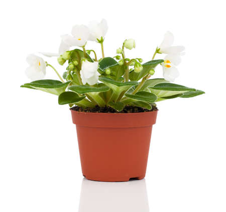 perennial: Saintpaulias flowers, isolated on white background