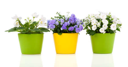 Potted plants: white Saintpaulia and Campanula terry flowers on white background
