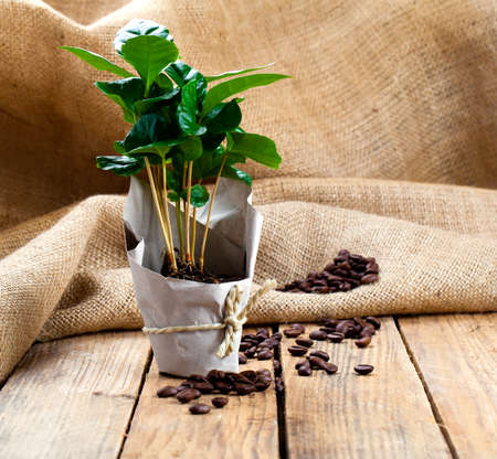 bean sprouts: coffee plant tree in paper packaging on sackcloth, wooden background Stock Photo