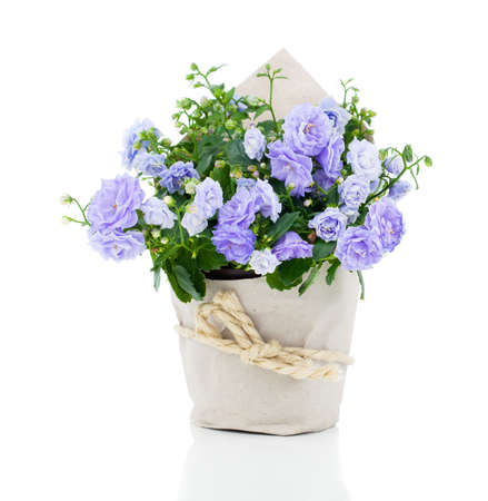 blue Campanula terry flowers in paper packaging, on a white background.