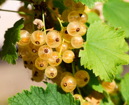 bunchy: Ripe white currants in the garden.