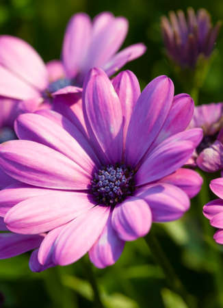 pluvialis: Osteospermum plants, belonging to the Calenduleae, of the sunflower, daisy family Asteraceae. Stock Photo