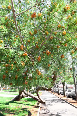 canarian: Pinus canariensis, Canarian Pine, male cones in spring