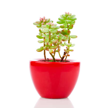 Adromischus houseplant in the red pot, on a white background.