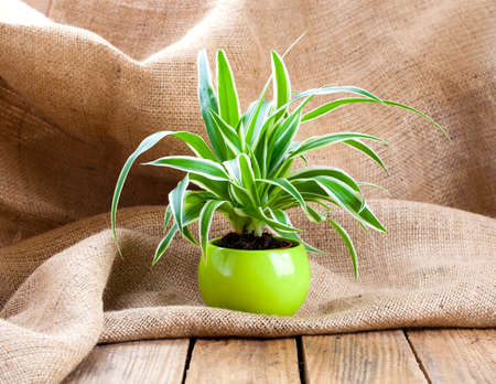 beauty in nature: green Chlorophytum plant in the pot, on sackcloth wooden background.