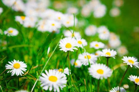 champ de fleurs: fleurs de camomille sauvage sur un terrain. faible profondeur de champ