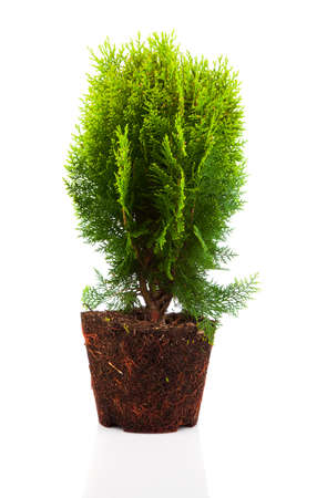 thuja: Cypress, thuja with roots isolated on white background Stock Photo