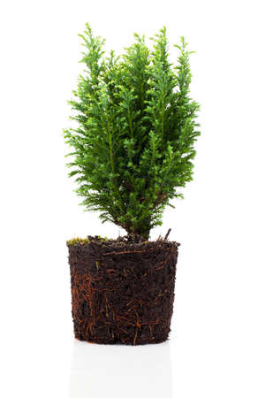 Cypress, thuja with roots isolated on white background Stock Photo