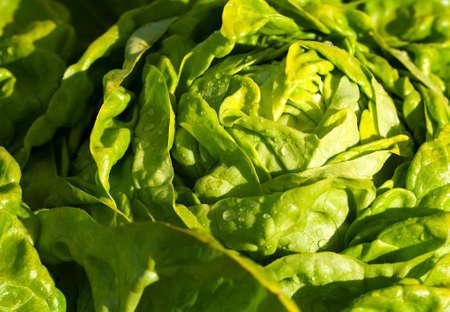 庭のレタスのサラダ