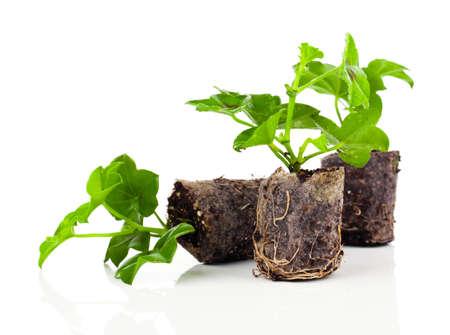 raices de plantas: Geranio con raíces, listo para plantar