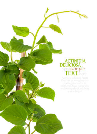 actinidia deliciosa: Actinidia deliciosa plant on white background