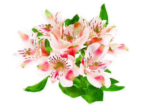 alstroemeria: Alstroemeria flowers isolated on white