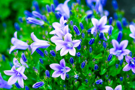 campanula: Beautiful spring background with campanula bouquet. Stock Photo
