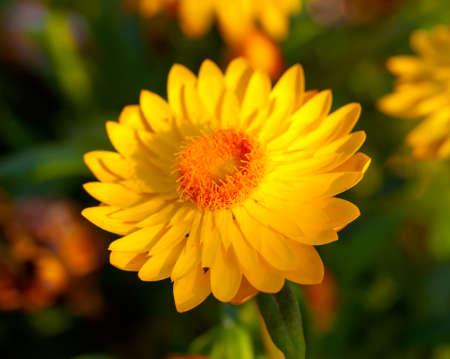 everlasting: Xerochrysum bracteatum, commonly known as the golden everlasting or strawflower