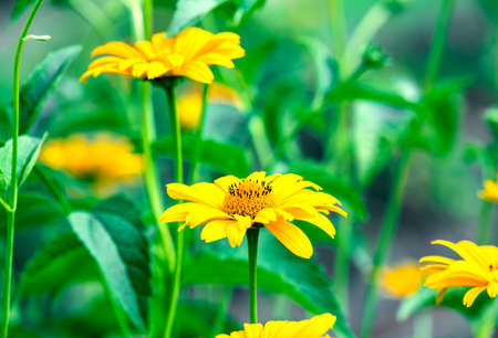 oxeye: Heliopsis helianthoides, sunflower-like composite flowerheads, commonly called ox-eye or oxeye. Stock Photo