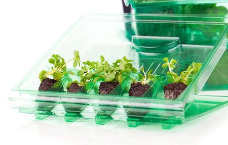 seedling: Plants, seedlings for transportation  in plastic box, on white background